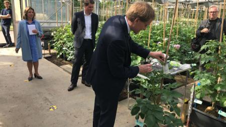 Ministerpräsident Daniel Günther steht in einem Gewächshaus und bestäubt eine Kartoffelpflanze.